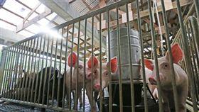 台駐馬紹爾技術團 造綠色環保豬舍(1)台灣駐馬紹爾技術團從民國104年起在馬紹爾群島推行畜牧和園藝計畫,協助當地人翻新溫室和豬舍。綠色環保豬舍(圖)設計著重回收再利用概念,豬糞尿和飼料殘渣經分離後,固體廢棄物可用於堆肥,污水經發酵後可產生沼氣用來加熱農場生產的蔬菜,給豬隻食用。中央社記者裴禛攝 106年11月26日