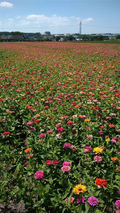 中市農業局輔導栽種景觀綠肥作物,花海美景迎花博(台中市府提供)