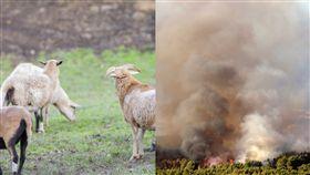 政府僱奇兵 逾300隻羊群大隊狂吃草 幫助抗野火(右圖/美聯社/達志影像、左圖/PIXBAYA))