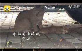 小貓,母貓,死亡(圖/翻攝自梨視頻)