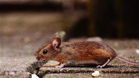 老鼠(圖/翻攝自PIXABAY)