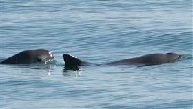 小頭鼠海豚,絕種,流刺網,Phocoena sinus(圖/翻攝維基百科)