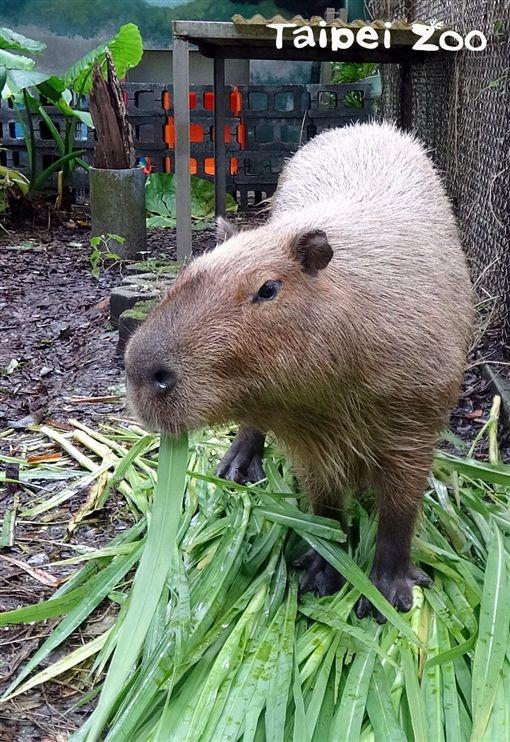 台北市立動物園,頑皮世界,水豚,動物園,水豚君