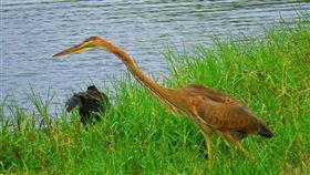 紫鷺飛臨鰲鼓溼地 冬候鳥觀賞季節到