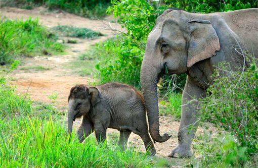 亞洲象,緬甸,盜獵,血念珠,象皮(圖/翻攝自elephant family臉書)