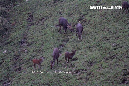 玉山國家公園塔塔加園區首見水鹿「群聚」覓食!玉管處本月初在巡查塔塔加鹿林山時,發現有7隻大小水鹿一同現身覓食,由於水鹿警覺性高,因此這樣的場景十分難得。玉管處表示,這應和近年來遊客的素質、保育成效良好有關,「這真的是全民的成就!」(圖/印莉敏提供)