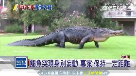 巨鱷亂果嶺1200