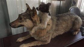 俄羅斯科學家創造雙頭狗(圖/翻攝自Kate Masters推特)