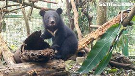 台灣黑熊,南安小熊,林務局