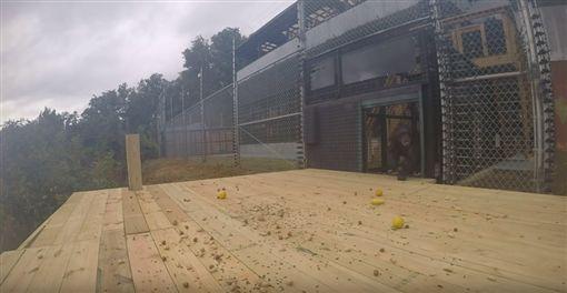實驗室的黑猩猩們重獲自由,卻不敢踏出門外。(圖/翻攝自Peachtree Habitat YouTube)