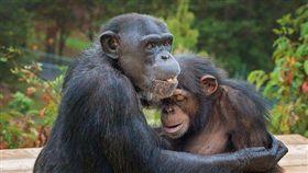黑猩猩Jurita安撫著9歲的小猩猩。(圖/翻攝自臉書Peachtree Habitat)