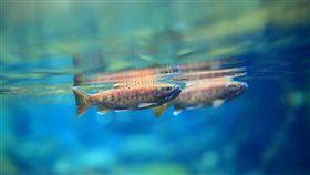 南投合歡溪放流3000尾櫻花鉤吻鮭(1)雪霸國家公園管理處31日指出,南投合歡溪在太魯閣國家公園所轄範圍,是一條類似七家灣溪天然條件的溪流,且適合國寶魚台灣櫻花鉤吻鮭生長的空間將近15公里,今年加碼放流3000尾,為放流史上最多的一次。(雪霸國家公園管理處提供)中央社記者管瑞平傳真 107年10月31日