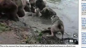 驚悚!動物園成殺戮戰場 動物混居…一母狼慘遭四熊虐殺(圖/每日郵報)