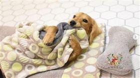 毛小孩「午休」照萌翻!寵物幼稚園老師還要幫忙蓋被被(圖/翻攝自puppyspring_IG)