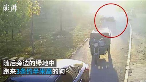 中國大陸,女子遭狗群圍攻撕咬(圖/翻攝自澎湃新聞)