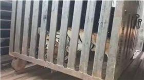 印度食人母虎被射殺(圖/翻攝BBC網站)