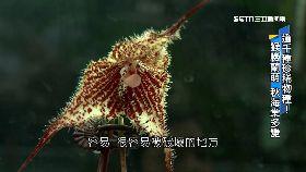k花博珍稀種0900