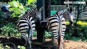 壽山動物園,黑白條紋,斑馬,壽山,動物園