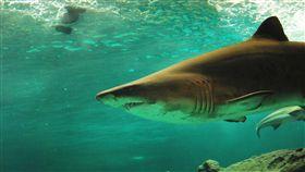 鯊魚攻擊!24小時內連傳澳2女傷重 恐有生命危險 中央社 雪梨,鯊魚,咬傷,攻擊