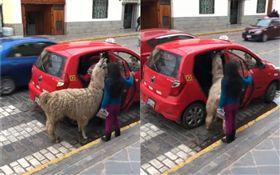 羊駝也搭計程車!乖乖排隊上車超呆萌 (圖/翻攝自Kike Ñañez臉書)