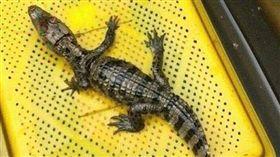 「我養的鱷魚跑掉了」 臉書協尋啟事嚇壞人(圖/我是南投人....更是水里人)