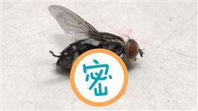 蒼蠅,白蛆,拍死(圖/爆怨公社)