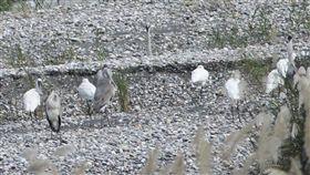 黑面琵鷺現身花蓮溪花蓮溪出海口近日出現4隻國際知名保育鳥類黑面琵鷺,其中一隻帶有腳環,確認是由韓國飛來過冬的嬌客,讓花蓮愛鳥人士興奮不已。(第九河川局提供)中央社記者盧太城花蓮傳真 107年11月9日