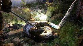 泰國有一名男子在進家門的前一刻,被一條重達100 公斤的大蟒蛇纏上,幸好家人及時發現,否則這名男子就會活活被這條蟒蛇給吞下肚!(圖/翻攝自中國報)