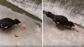 真的是菜鳥!一名網友日前在臉書公開社團「爆笑公社」分享一段影片,可看到一隻黑色的小鳥在地上試圖吃蟲子,但它似乎被鳥媽媽餵習慣,只會張開口「不會啄」,眼巴巴看著食物,卻吃不到。其他網友看到後,紛紛笑虧「媽寶代表XD」。(圖/翻攝自爆笑公社)
