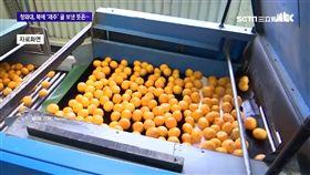 南韓,柑橘,農產外交,北韓,濟州島