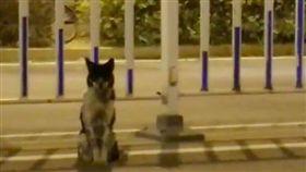 飼主出車禍走了…忠犬「原地守護80天」逼哭網友  圖/翻攝自梨視頻