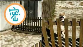 (圖/翻攝自9GAG IG)日本,狗,柴犬,忍者