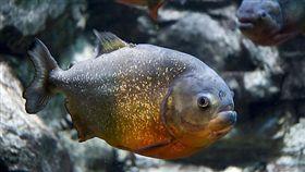 台北,農委會,食人魚,野生動物保育法(圖/翻攝維基百科)