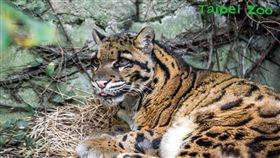 台北市立動物園雲豹奶奶「雲新」(圖/台北市立動物園提供)