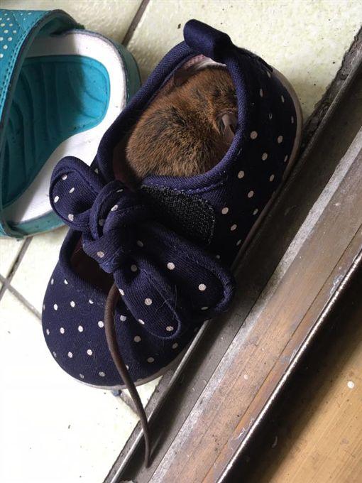 網友抱怨老鼠躲在女兒鞋子裡。(圖/翻攝自爆怨公社)