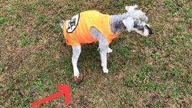不少飼主帶毛小孩外出散步時,都會隨手清理大便,但有一名女網友抱怨,她日前帶自己的狗狗到公園「上大號」時,她的狗狗竟踩到別隻狗狗的大便。其他網友看到照片後,紛紛笑虧「好有味道的照片!」(圖/翻攝自爆怨公社)