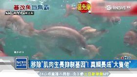 F日造基因魚1800