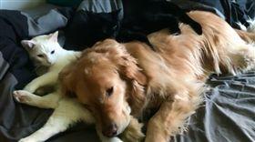 黃金獵犬,貓,疊疊樂(圖/翻攝自mojito_rose IG)
