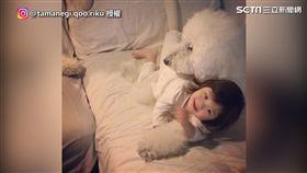 ▲小女孩從小到都跟三隻巨型貴賓狗一起玩耍。(圖/IG @tamanegi.qoo.riku 授權)