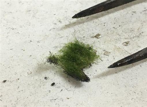 日本,綠藻,纖維,寵物,獨居(圖/翻攝自推特)