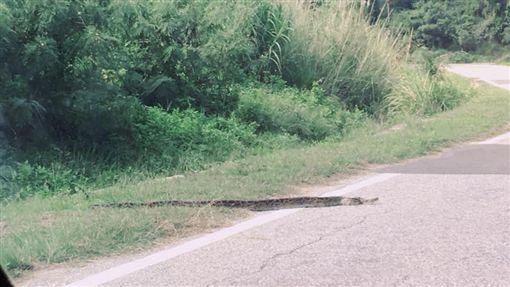 金門,緬甸蟒,蟒蛇,肥胖,過馬路(圖/翻攝自靠北金門)