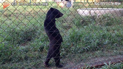 ▲野生熊熊悠哉在森林中漫步。(圖/翻攝自AP/Jukin Media)