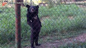 ▲挺著腰肢,野生熊熊對著鏡頭搖頭晃腦。(圖/翻攝自AP/Jukin Media)