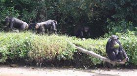 黑猩猩過去是人類醫學實驗的犧牲品,美國不少科學家利用完猩猩後,將牠們棄在西非賴比瑞亞的荒島。一名熟悉該座荒島的男子傑瑞(Jerry)表示,這批黑猩猩幾乎患有肝炎,一看到陌生人就會攻擊,甚至還傳出有試圖登島的人被活吞,變得相當兇惡。(圖/www.news.com.au)