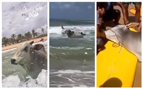 巴西,公牛奔大海自盡(圖/翻攝自YouTube)