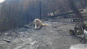 美國北加州11月爆發災難性野火,當地居民蓋洛德撤離後,留下安那托利亞牧羊犬麥迪遜。而逃過死劫的麥迪遜仍盡忠職守,守候已燒成廢墟的家園一個月,殷切等待主人歸來。(圖/翻攝自@MikeSington推特)
