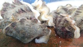 澎湖海研中心硨磲蛤復育有望農委會水產試驗所澎湖海洋生物研究中心利用人工繁殖硨磲蛤稚貝,利用其足絲自然再生的特性,於放流前剪除其舊有足絲,直接投放在野外的硬基質上,經統計存活率高達75%,讓硨磲蛤復育有望。(農委會提供)中央社記者吳欣紜傳真 107年12月9日