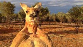 世上最有名袋鼠、「浩克」羅傑過世 主人:牠度過美好一生(圖/截取自The Kangaroo Sanctuary Alice Springs臉書)