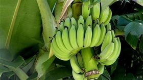 「生香蕉」對人體好處相當多。(圖/翻攝自Pixabay)