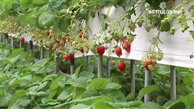 價格略降了50元! 草莓農:今年產量較多